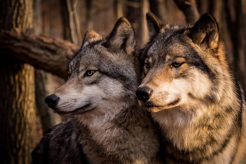 Отрава для волка 27